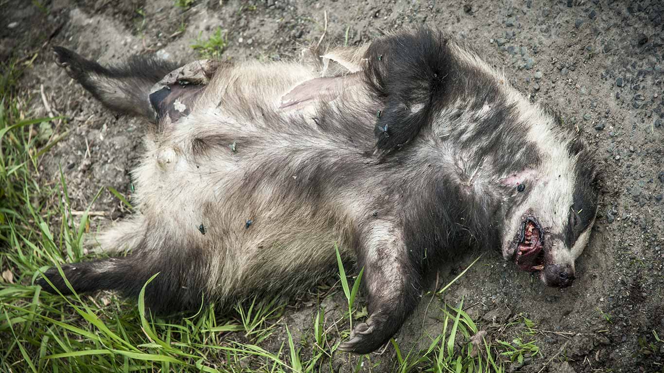 Badgers are still being SENSELESSLY MURDERED by the thousands for absolutely NO PURPOSE!