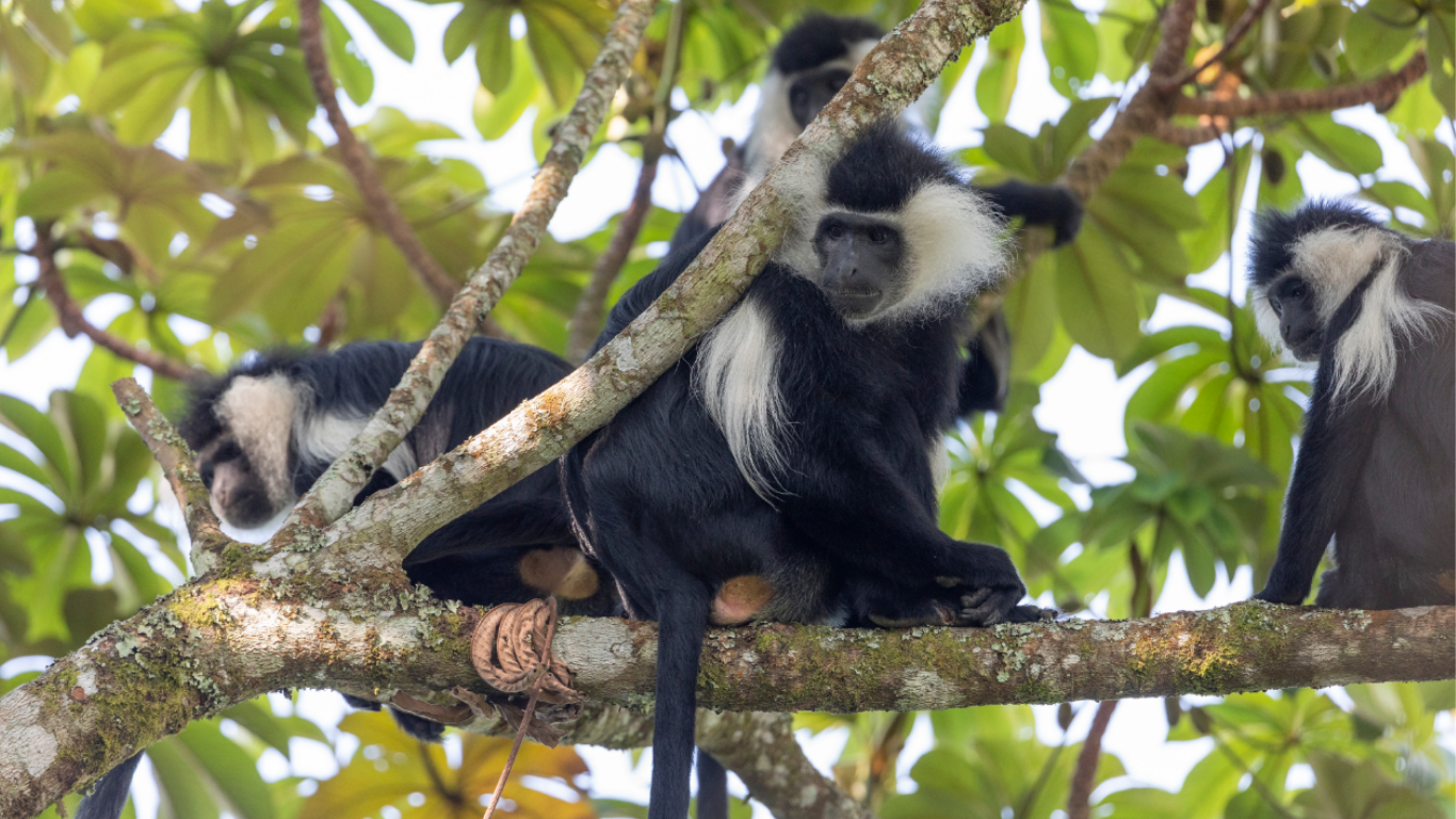 Forest destruction, illegal bushmeat poachers, and powerlines threaten rare colobus monkeys!