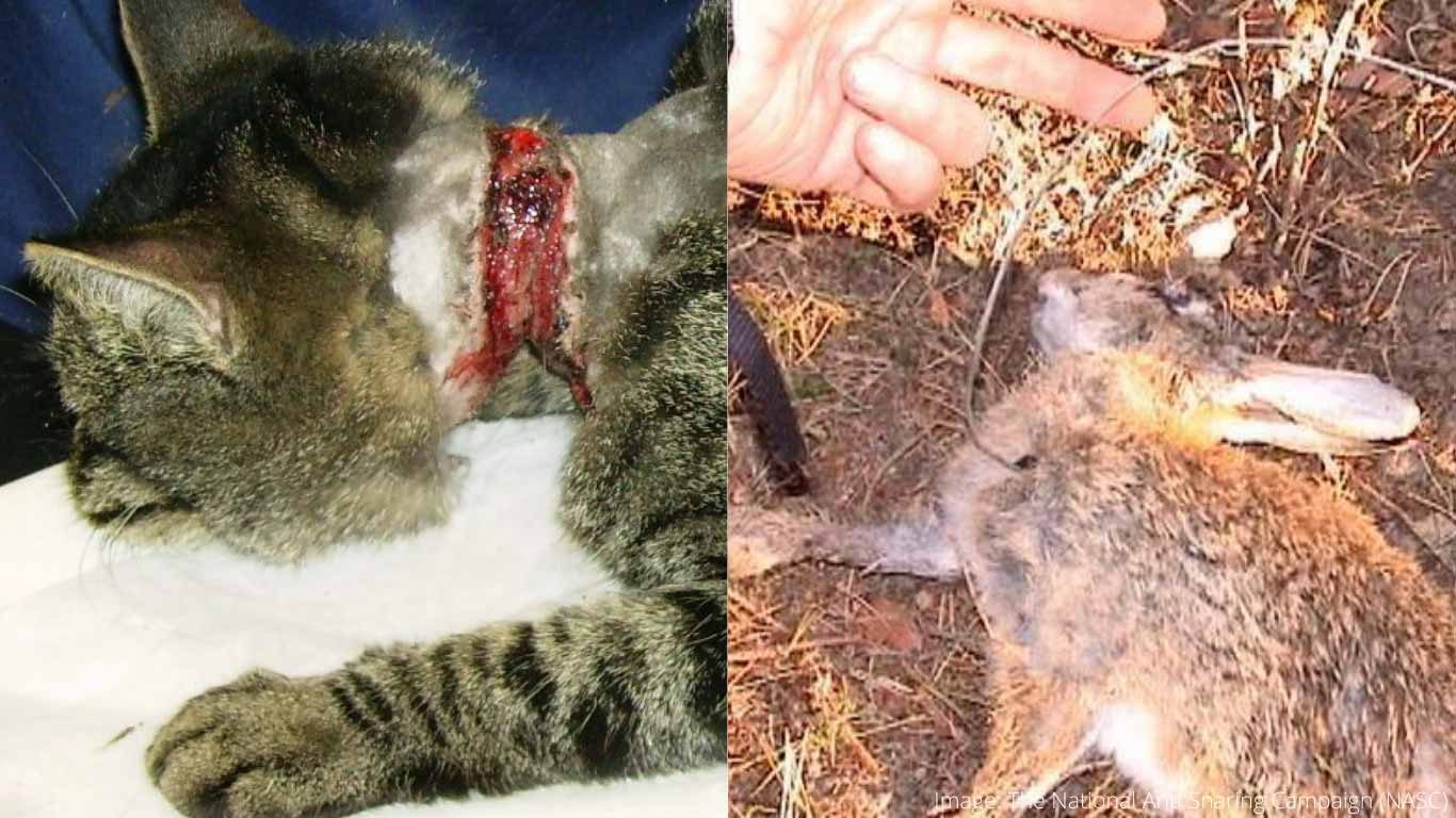 Barbarians intend on continuing to snare helpless animals. Sometimes these animals GNAW OFF THEIR LIMBS!
