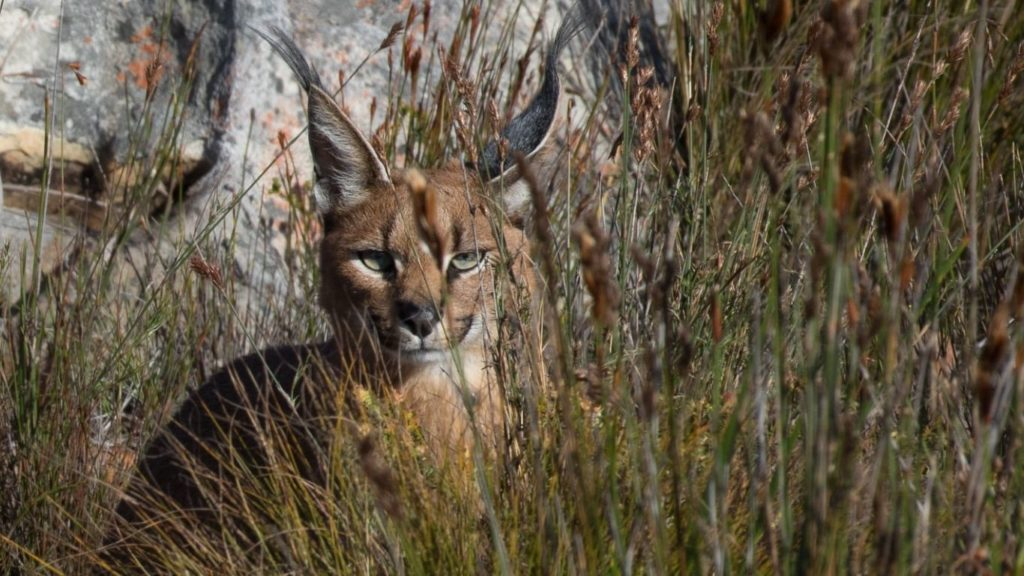 Devastating Cape Town Fire Puts Last Remaining Caracals at Critical Risk
