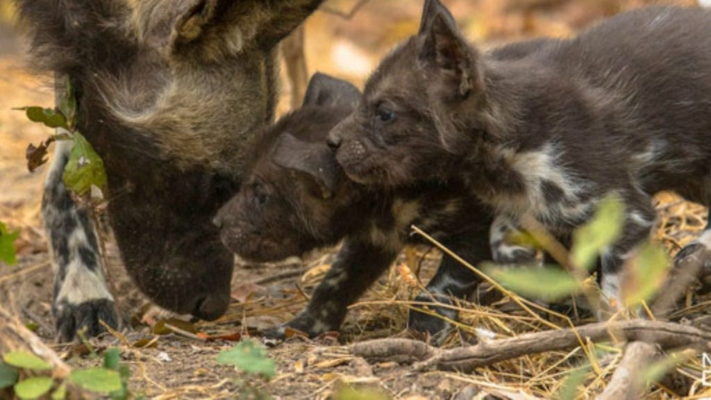 UNACCEPTABLE! Intelligent and highly social painted dogs are being indiscriminately SNARED and dying slow, excruciatingly painful deaths!