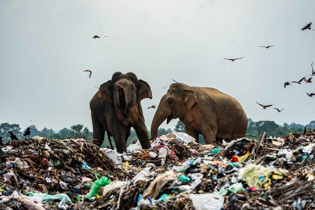 Sri Lankan Elephants Die After Eating Plastic From Rubbish Dumps