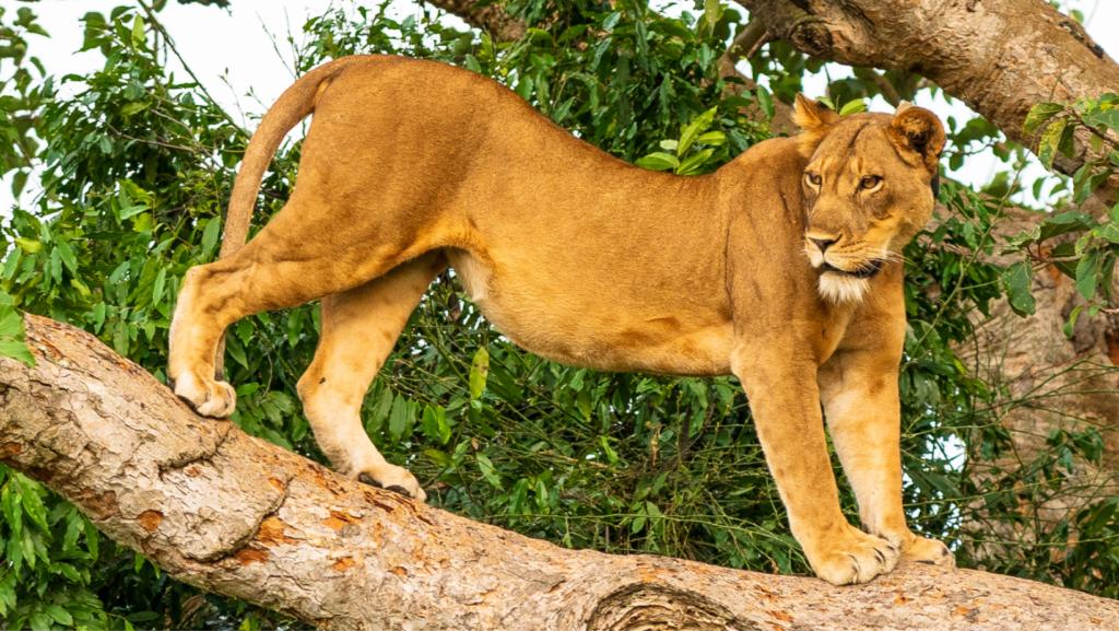 Rare Tree-Climbing Lions Under Threat in Famous Ugandan Park