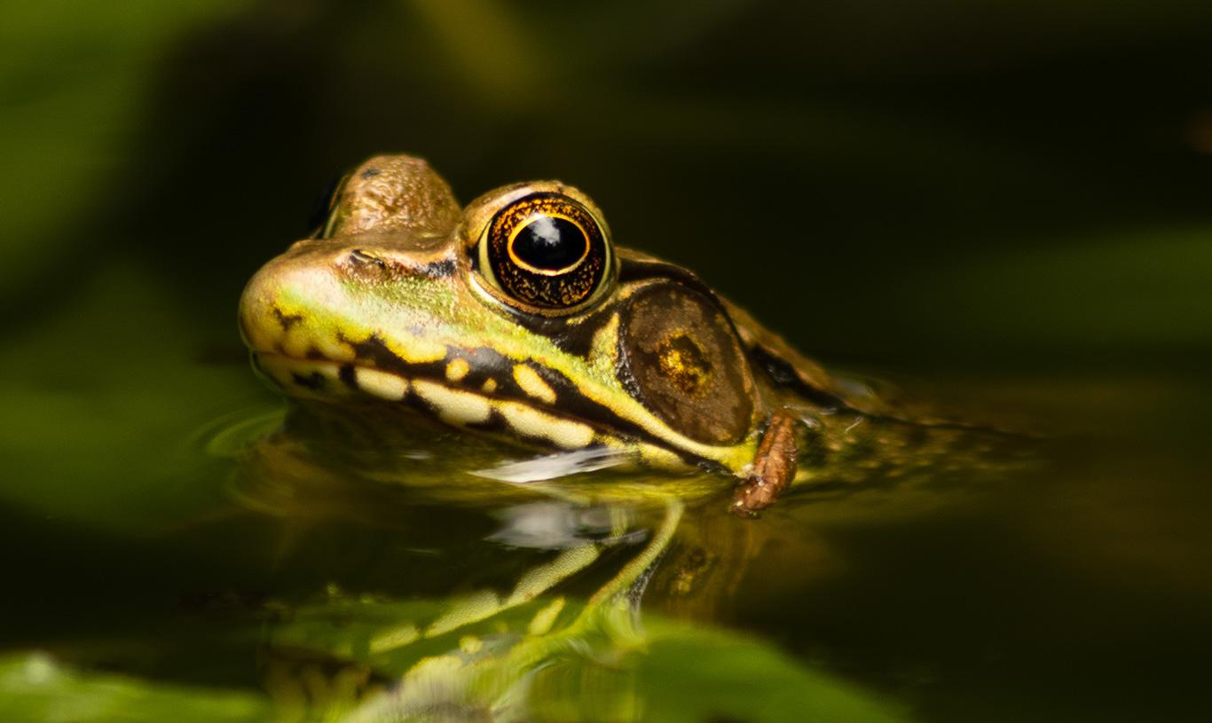 Anatolian water frogs