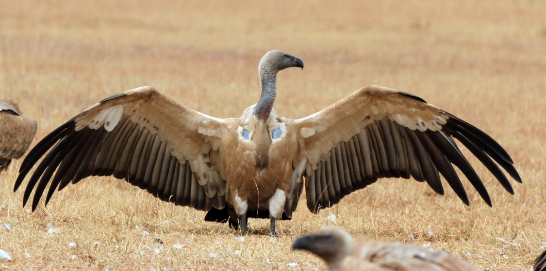 Hunters should stop using lead bullets and help save the vultures