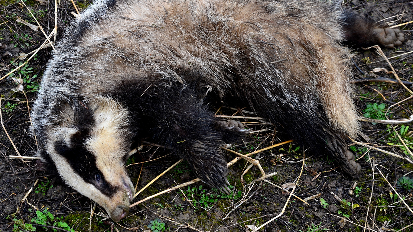 Badgers being murdered in cold blood! Their only hope is that you speak up before it's too late!