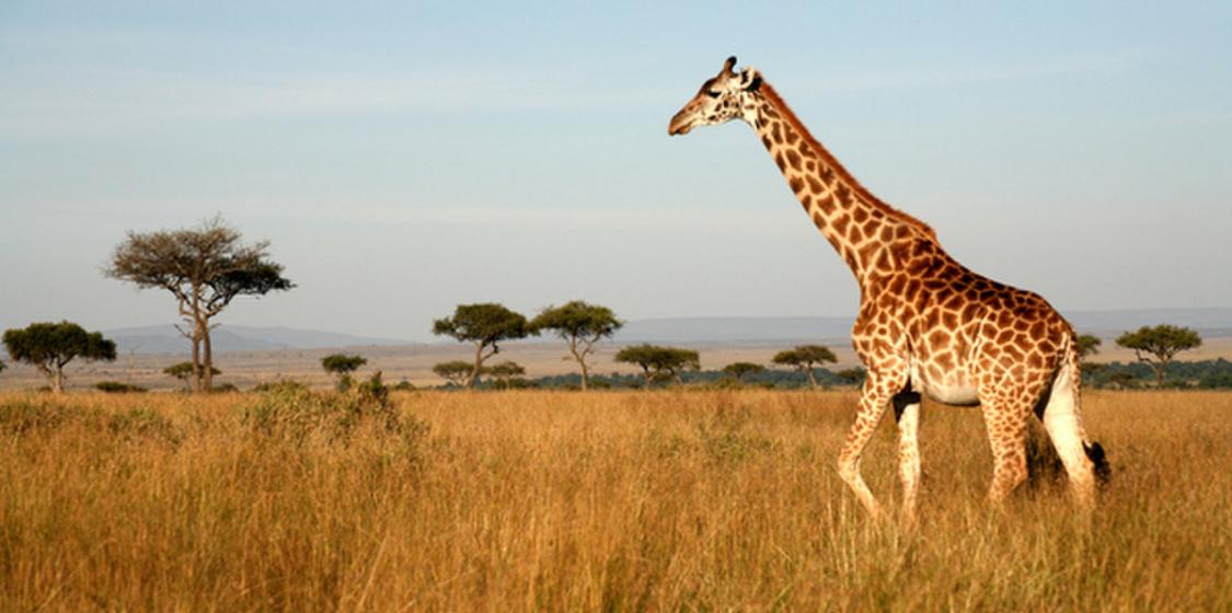 Giraffe Threatened Species