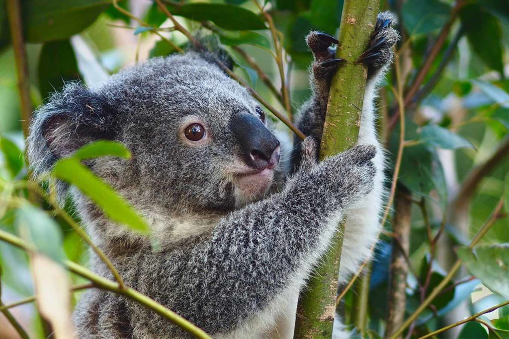 Koalas Could Be Extinct by 2050: Why This Loveable Species Is Gripped by Emergency