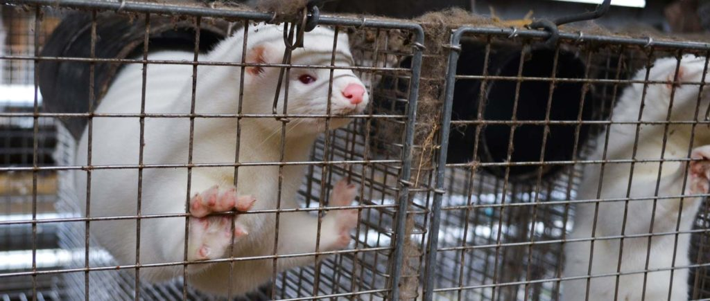 ASI Calls on an Infinite Ban on the Fur Trade as the Coronavirus Rips Through Mink Farms