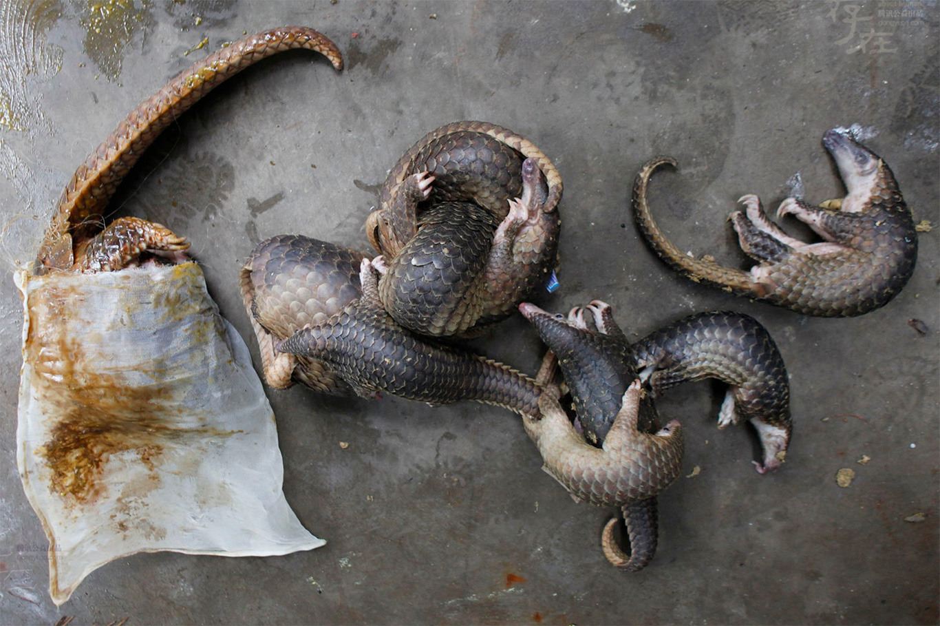 Pangolin purgatory! Chopped, diced and eaten to extinction!