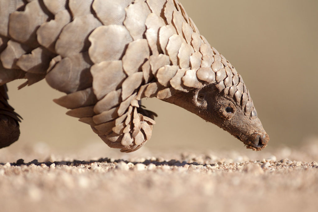 The World's Most Trafficked Animal Is on the Verge of Extinction
