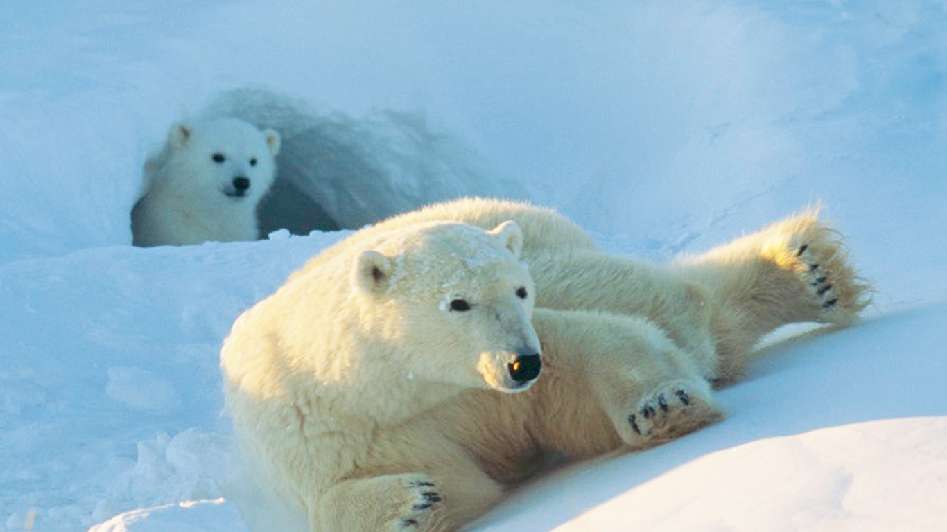 TICKING TIME BOMB for polar bears (and their babies) in Arctic National Wildlife Refuge!