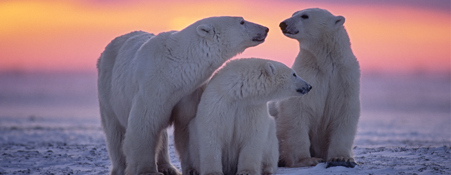 Skating on Thin Ice: Climate Change Could See Polar Bears Extinct by 2100