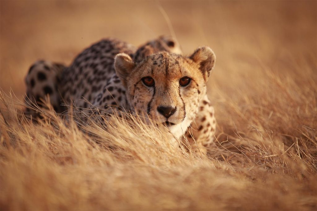 South Africa Is the Only Country Where Cheetah Numbers Are Increasing