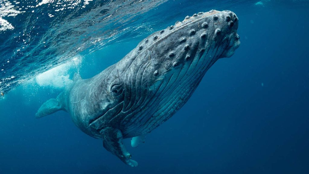 Scientists Find That Climate Change Is Affecting Humpback Whale Reproduction