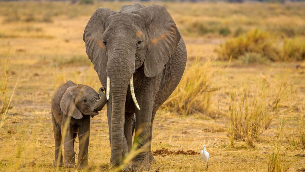 Breakthrough for African Elephant Conservation as Two Distinct Species Are Recognized