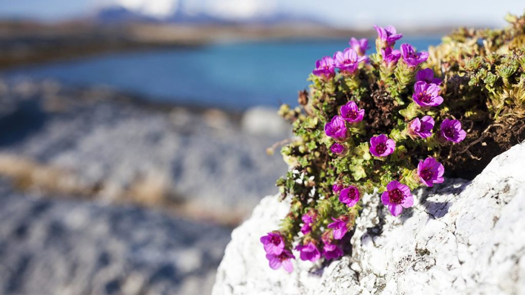 The Rapid Disappearance of Glaciers Threatens Alpine Flowers With Extinction, New Research Finds