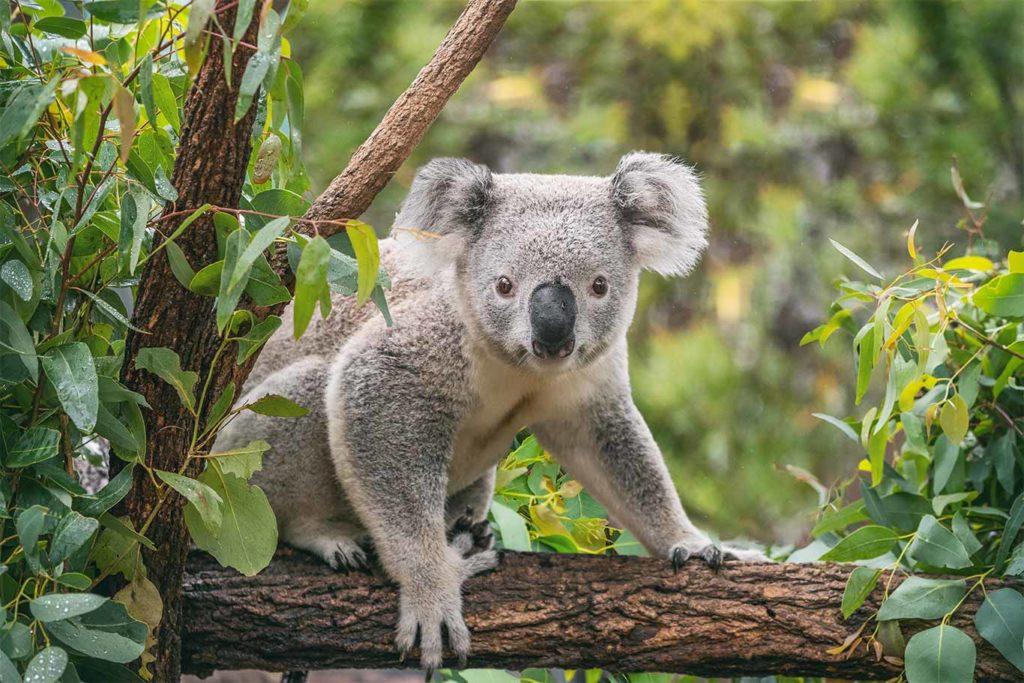 Environmental Disgrace: Australian Minister Chooses Rocks Over Koalas
