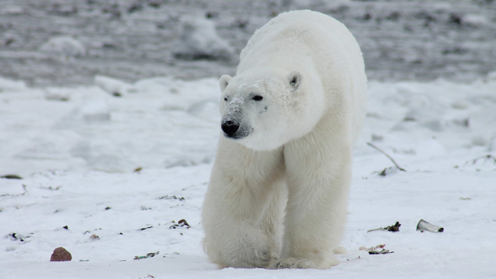 Good News for Polar Bears, as Trump Fails
