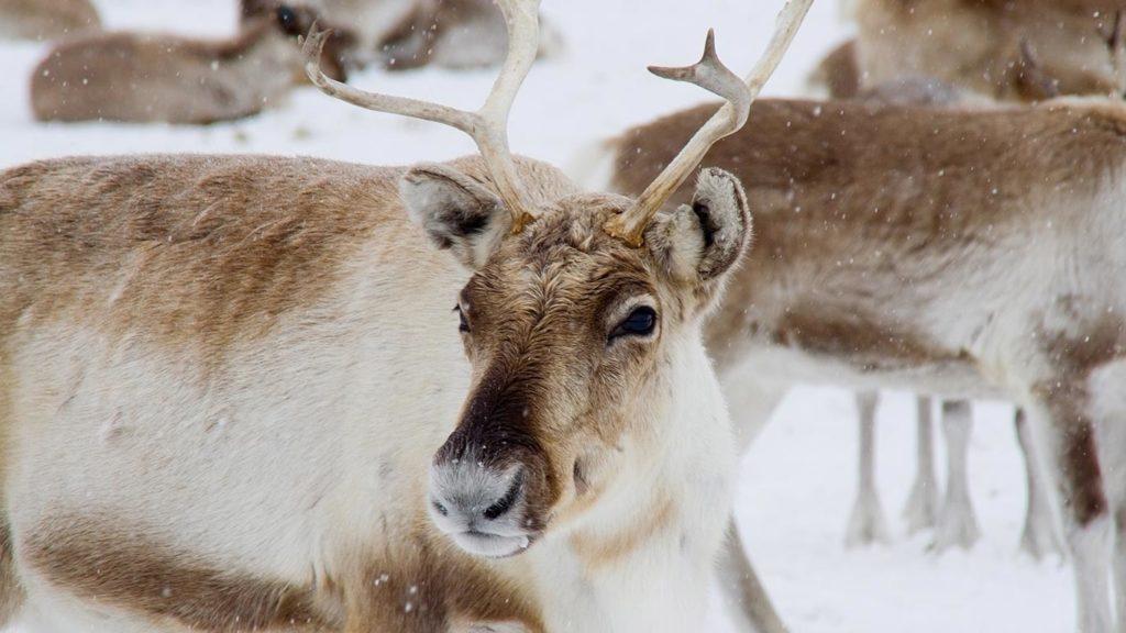 Sweden to Build Reindeer Bridges in Bid to Protect Its Wildlife