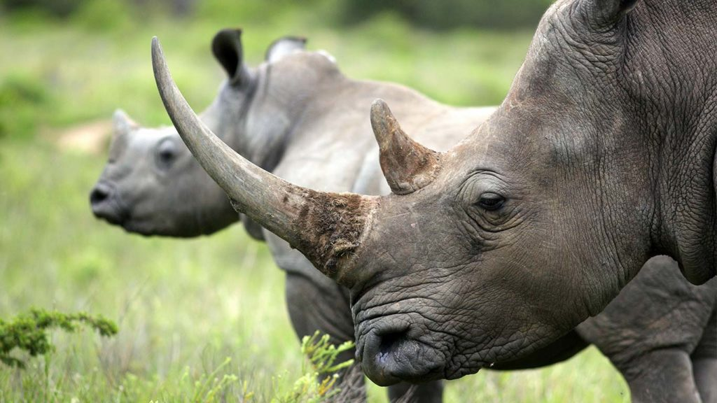 Shocking News as Kruger's Rhino Numbers Are Finally Revealed