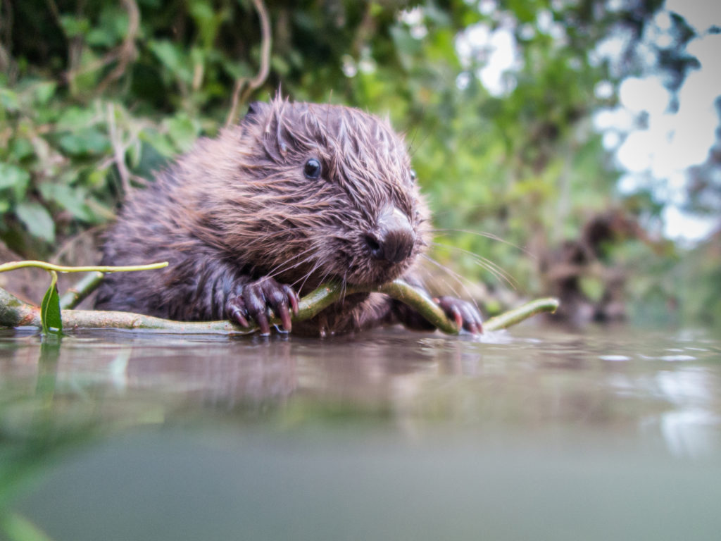 Britain Releases Beavers Back Into Its Water Systems in a Bid to Save Ecosystems and Help People