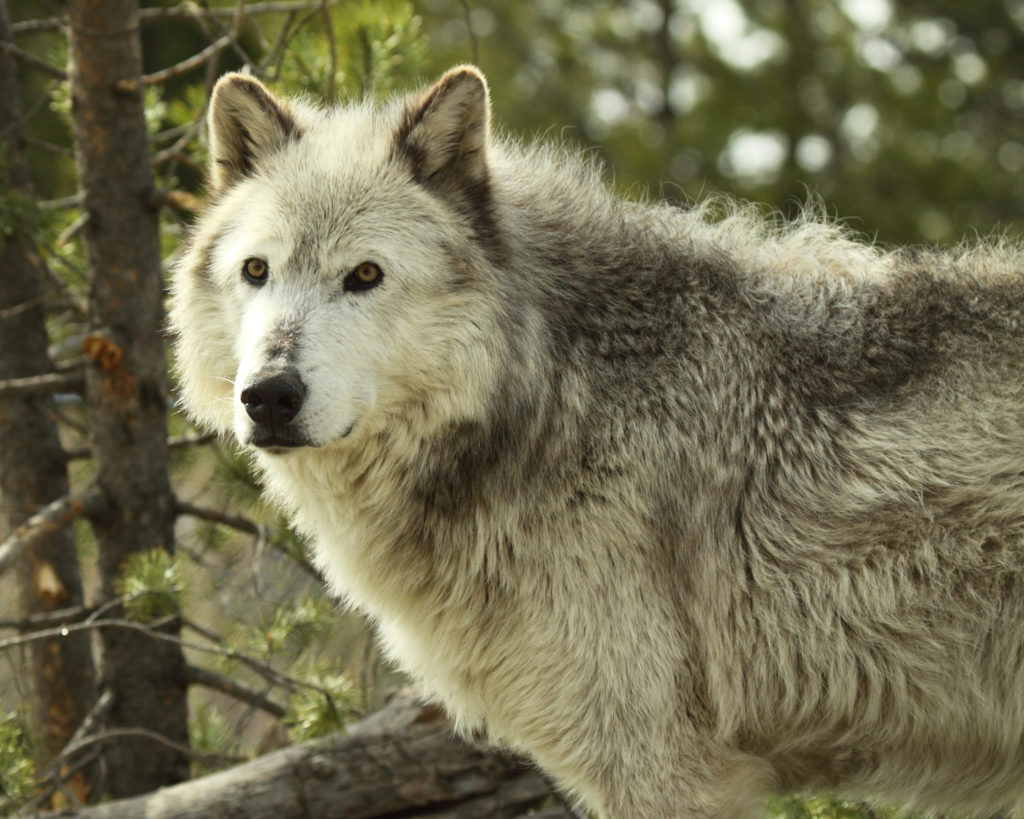Again, Gray Wolves in Montana Are Under Siege, as State Considers New Hunting Bills