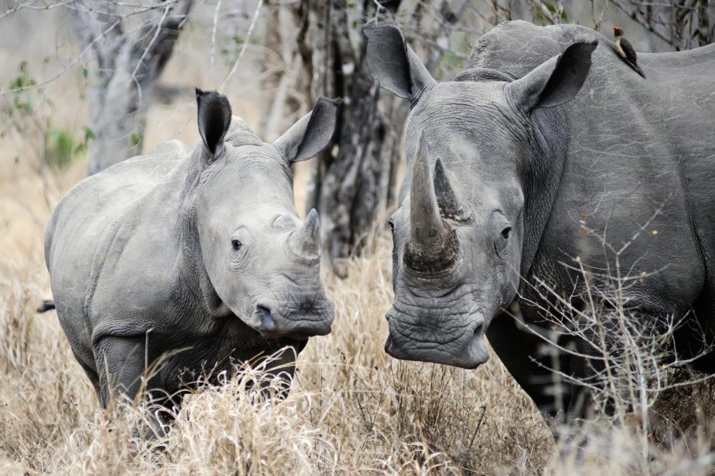 Edited: Rhino Poaching in Botswana – Is Pride Hampering Prevention?