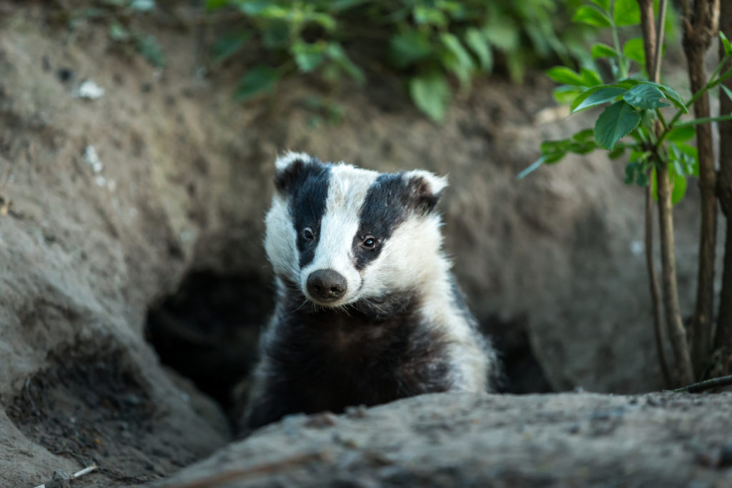 Update: British Government Climbs Down on Pointless Badger Killing but British Veterinary Association Says Let the Killing Continue!
