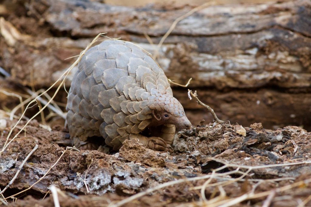 Today Is World Pangolin Day – Save the Most Threatened Mammal on Earth