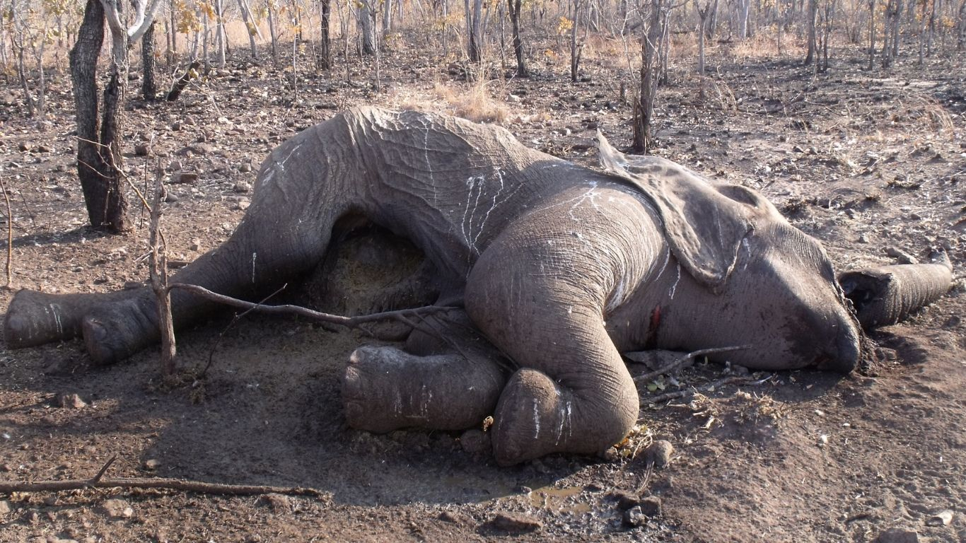 It is a poaching epidemic! 75% of lake elephants have already been slain for their tusks!