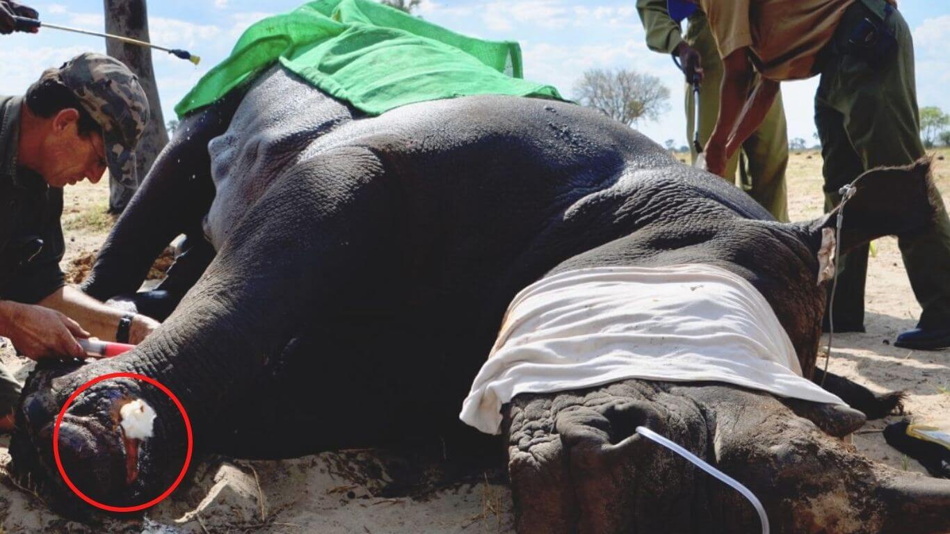 The horror and pain that snares indiscriminately inflict on defenseless animals, EVEN ELEPHANTS, is UNIMAGINABLE!