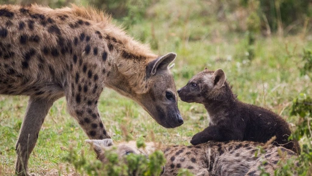 Waiting at home for dinner, hyena cubs are starving to death because farmers are shooting their mothers!
