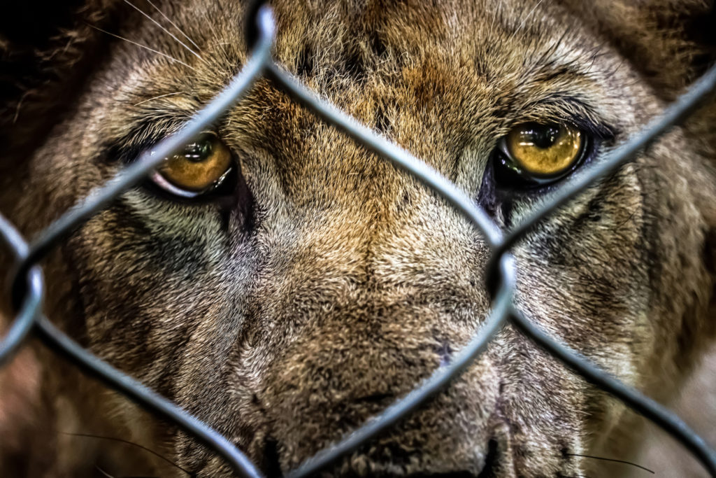 The End of South Africa's Shameful Lion Breeding Industry – What Now Happens to the Lions?