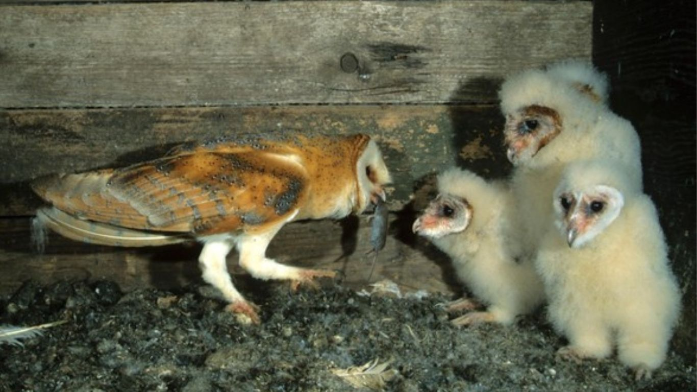 Man's greed, habitat loss and climate change are always waiting to destroy wildlife - and British barn owls could be in jeopardy!