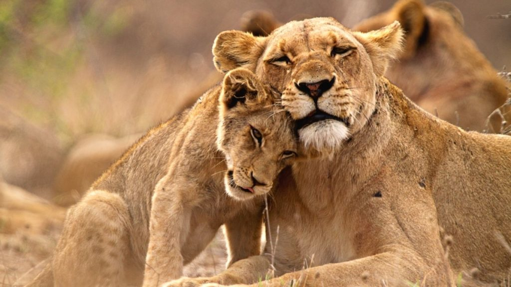 Celebrating World Lion Day By Supporting The Shut Down SA's Captive Lion Breeding Industry