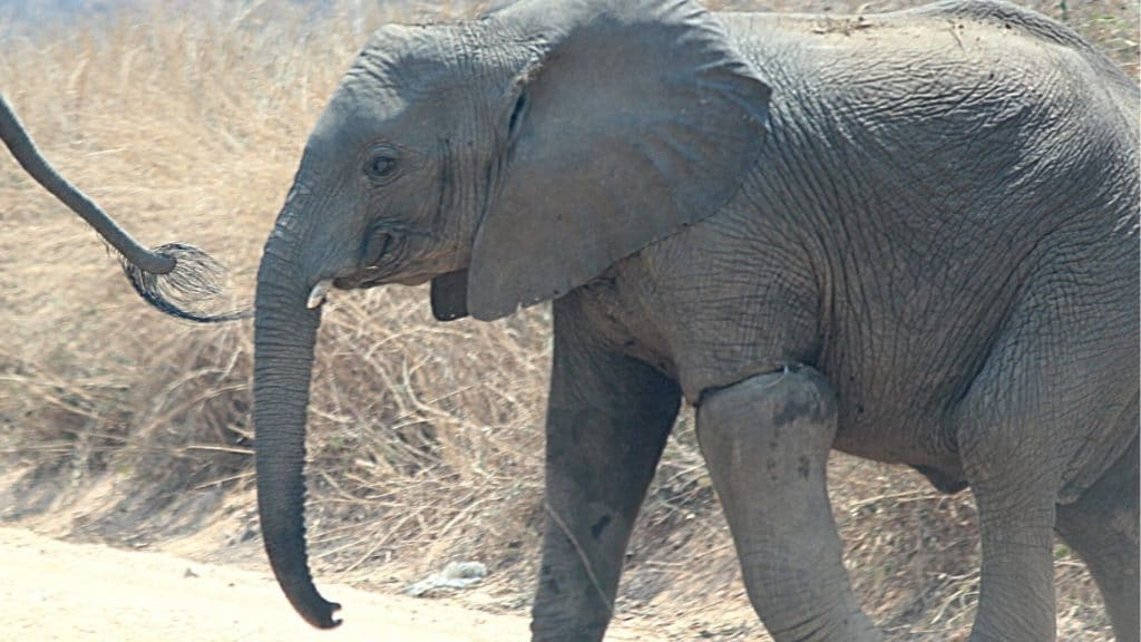 EMERGENCY RESCUE OPERATION! Baby elephant has wire snare wound tightly around his leg - cutting off blood-flow. WE CAN'T LET HIM DIE!