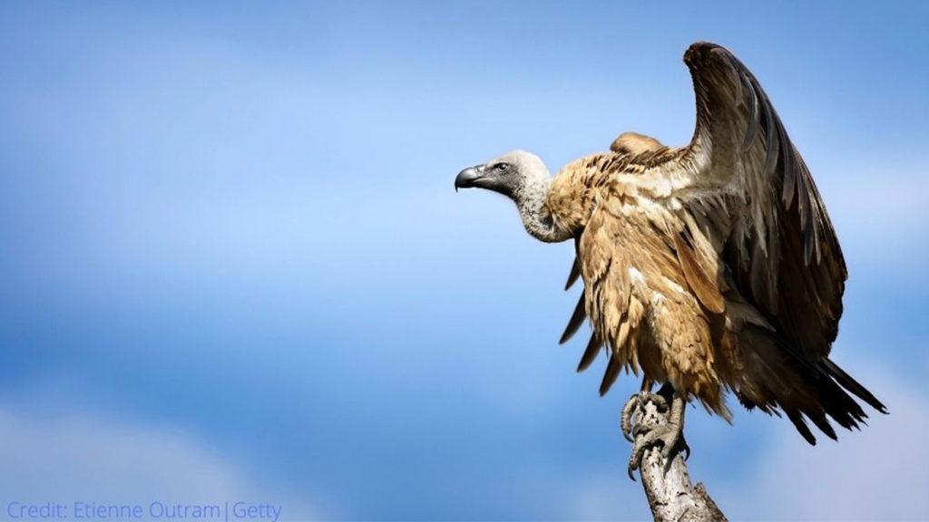 A Word on Vultures, This International Vulture Awareness Day