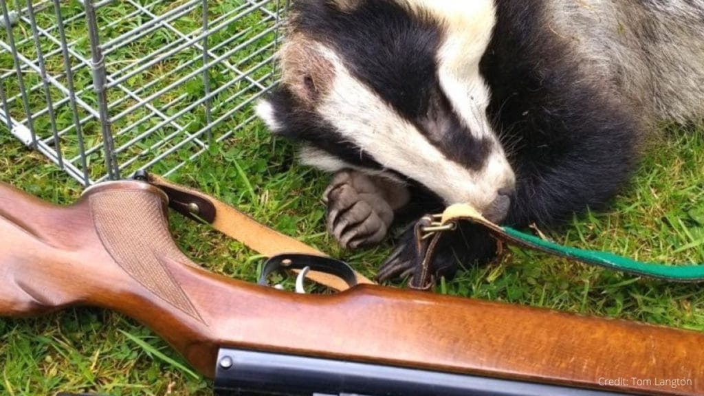 IT'S WRONG! Top UK vet body supports CRUEL AND POINTLESS badger slaughter!